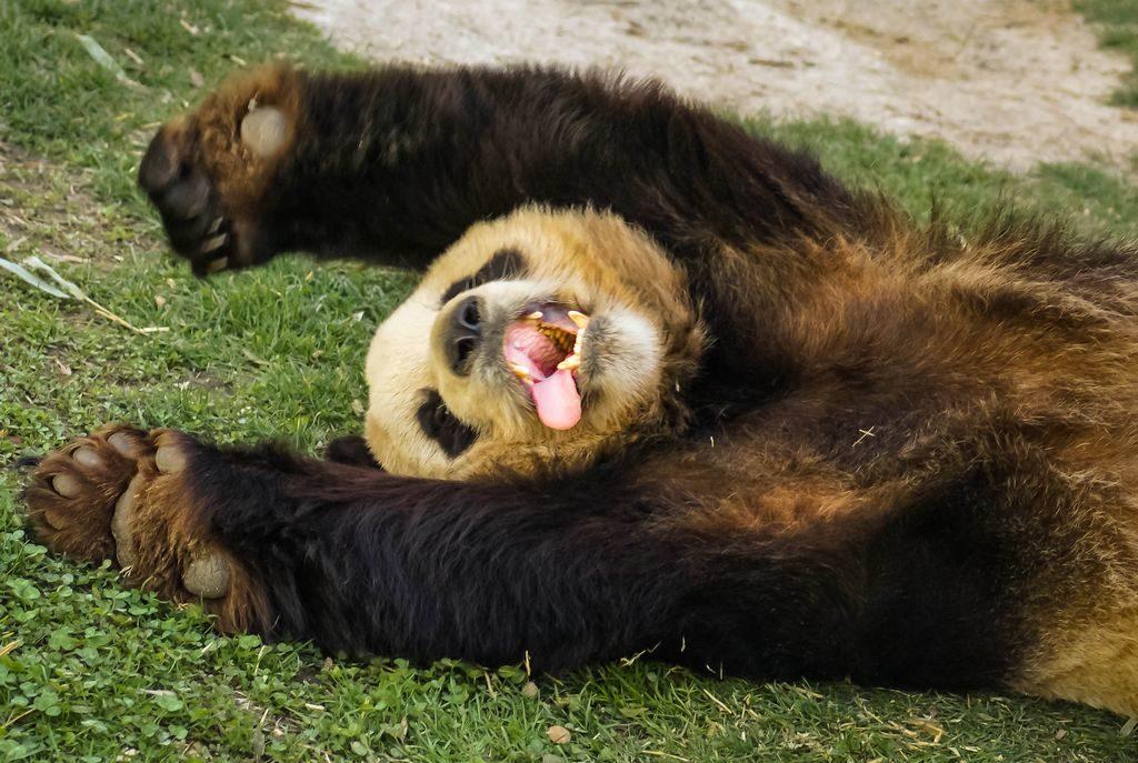 Panda carattere