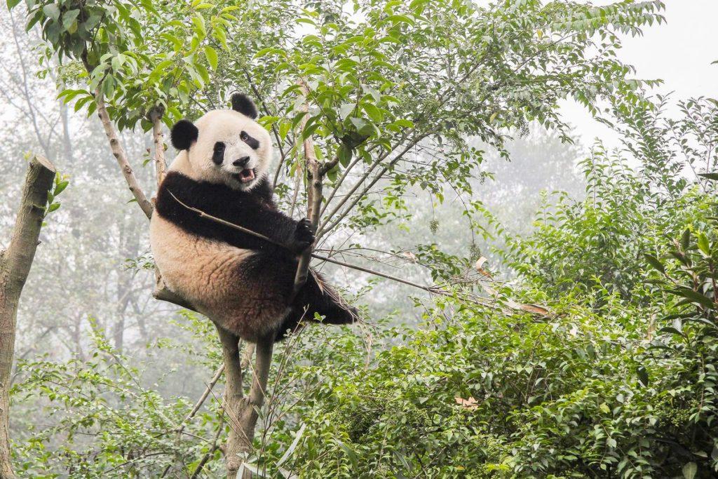 caratteristiche del panda