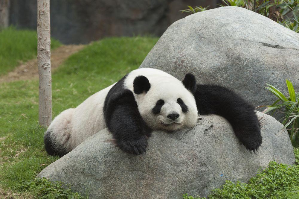Il panda mentre dorme