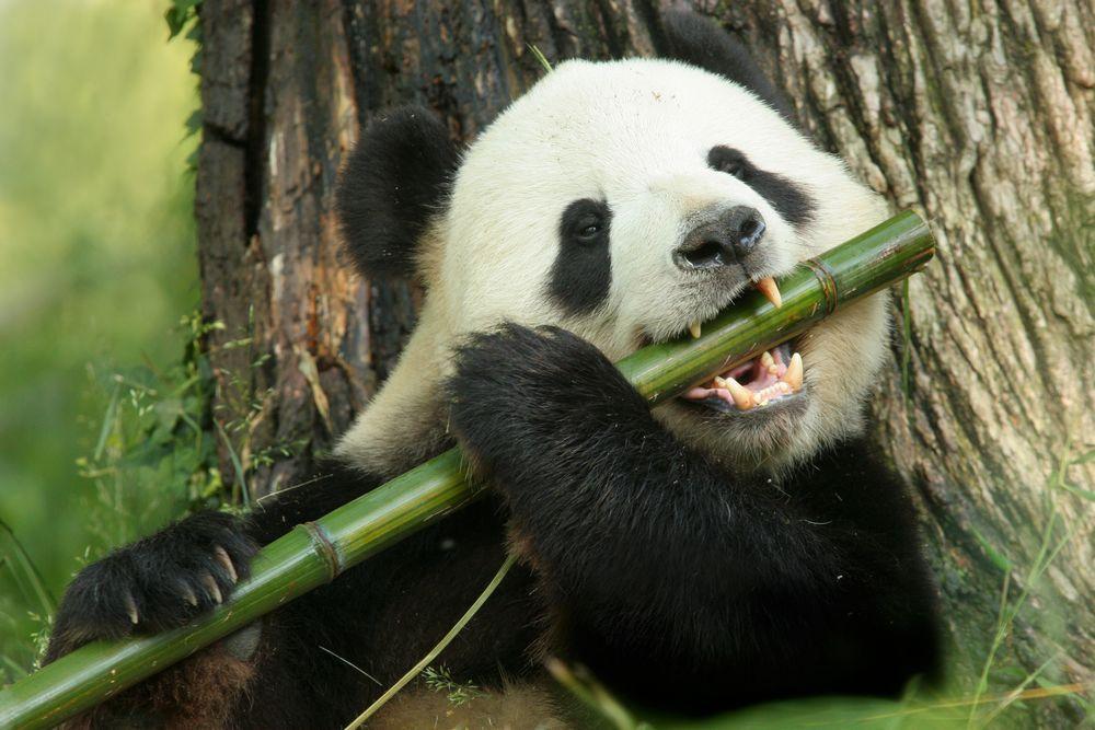Cibo Panda