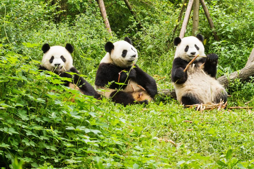 Panda Gigante - Centro di Ricerca Chengdu